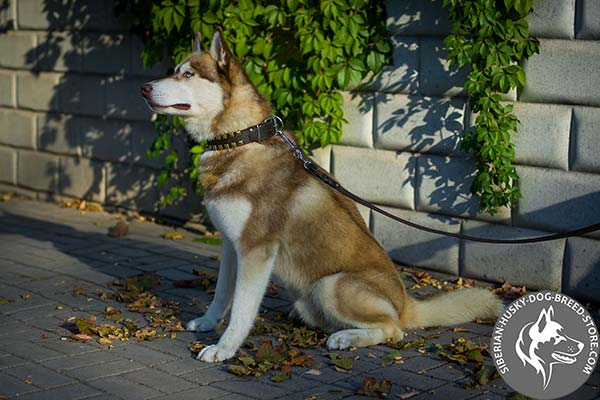 Siberian Husky black leather collar with corrosion resistant studs for basic training