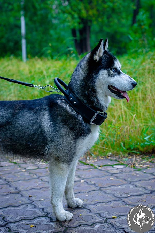 Siberian Husky black leather collar with rust-free hardware for better comfort