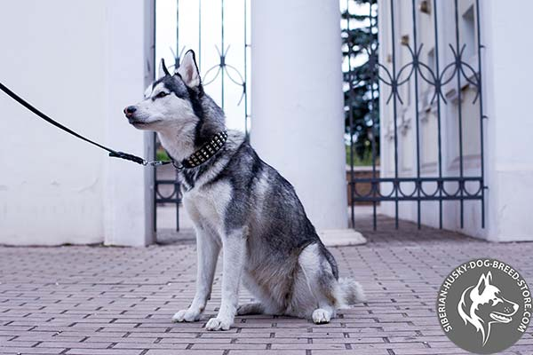 Siberian Husky black leather collar with rustless studs for better comfort