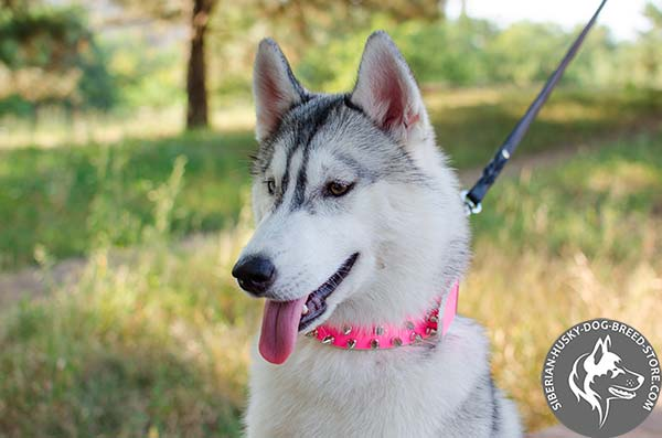 Siberian Husky pink leather collar with non-corrosive fittings for agitation training