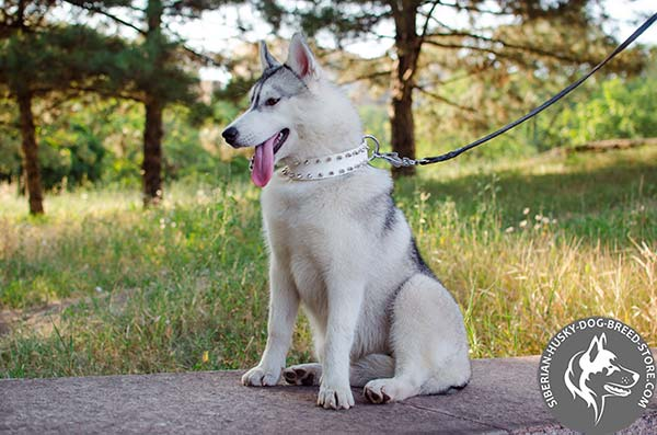 Siberian Husky white leather collar with reliable nickel plated hardware for stylish walks