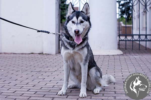 Siberian Husky black leather collar with durable nickel plated hardware for stylish walks