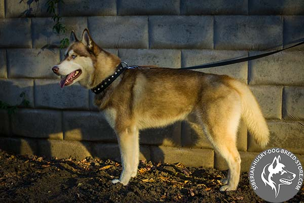 Siberian Husky nylon collar with rust-proof cones for quality control