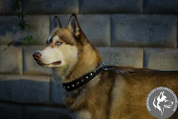 Siberian Husky nylon collar with rust-free hardware for any activity
