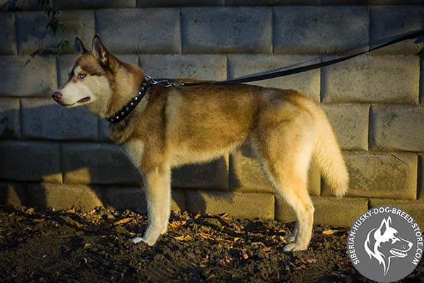 Siberian Husky nylon collar of high quality with d-ring for leash attachment for professional use