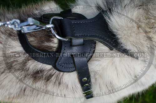 Leather dog harness for Husky with padded back plate