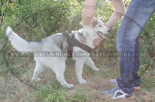 Pulling Siberian Husky dog harness