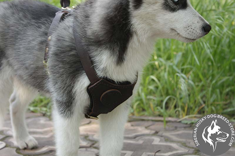 Leather Padded Harness For Siberian Husky Puppies H2 1025 Walking