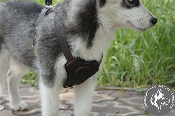 Siberian Husky harness with decorated leather chest plate