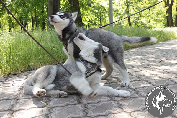 Good-looking Siberian Husky leather harness with fixed fittings
