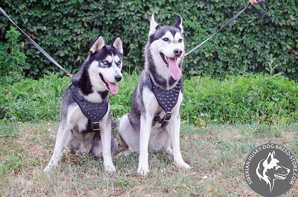 Premium quality Siberian Husky genuine leather harness