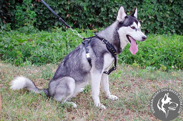 Snugly fitted Siberian Husky strong leather harness