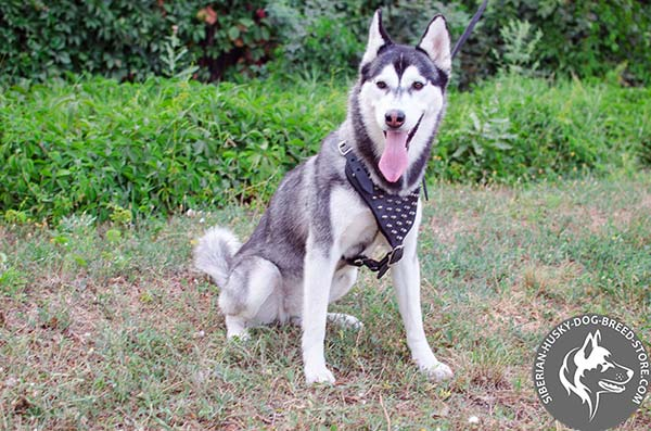 Siberian Husky reliable harness with spikes