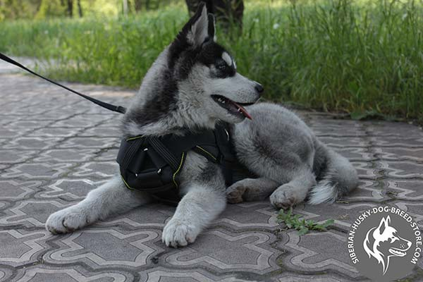 Siberian Husky harness with protected chest