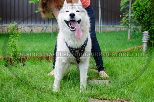 Siberian Husky designer harness for dog walking and training