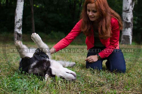 Pulling Siberian Husky harness for dog training