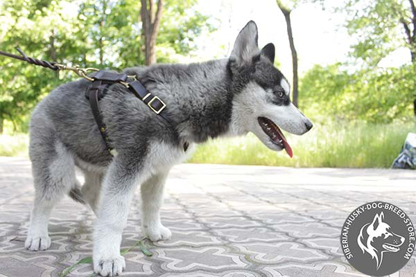 Siberian Husky leather harness with reliable hardware for basic training