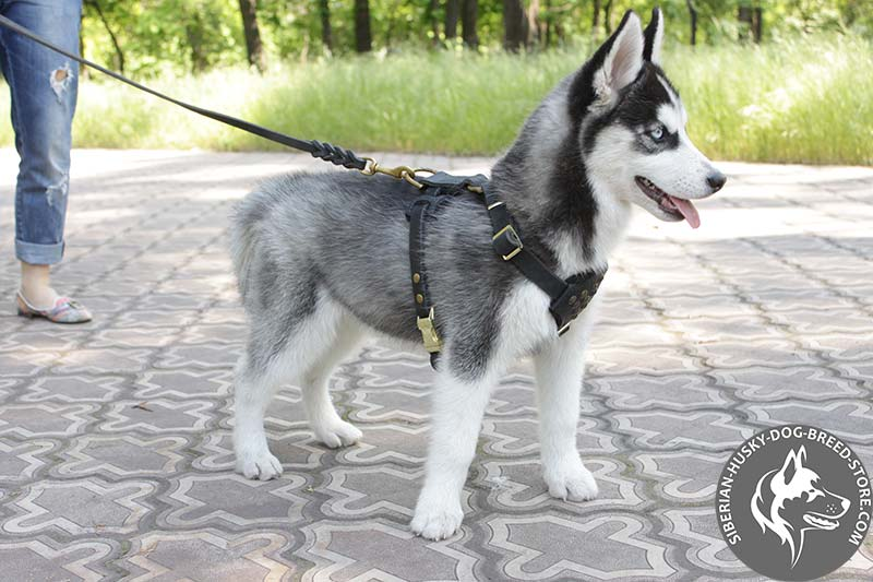 Buy Leather Siberian Husky Puppy Harness | Dog Walking Gear