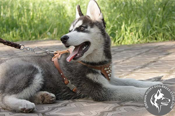 Siberian Husky leather harness with rust-proof hardware for daily activity