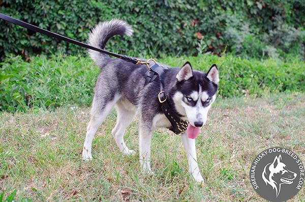 Siberian Husky black leather harness with rust-free hardware for better comfort