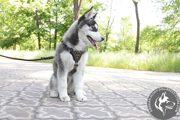 Siberian Husky leather harness with rustless studs for walking