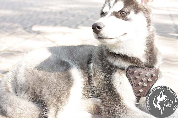 Siberian Husky brown leather harness with non-corrosive spikes for basic training