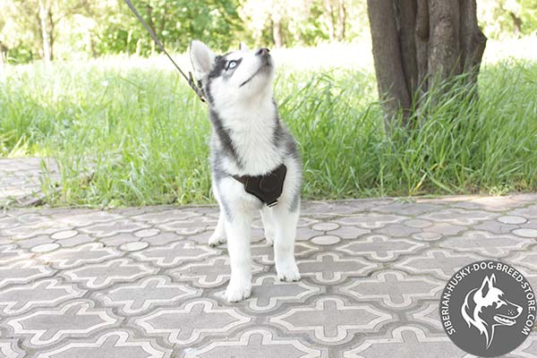 Siberian Husky brown leather harness of high quality with d-ring for leash attachment for basic training