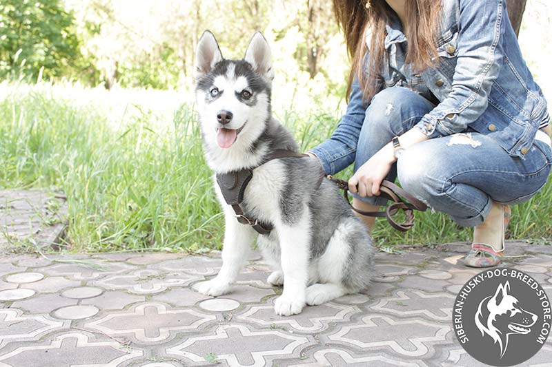 Leather Padded Harness for Siberian Husky Puppies