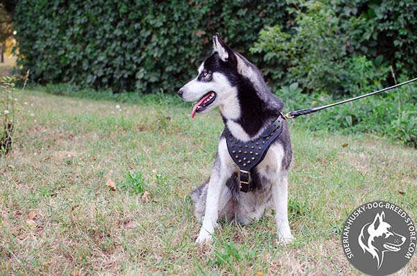Siberian Husky black leather harness with strong brass plated hardware for walking