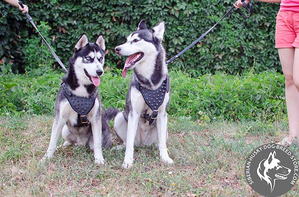 Siberian Husky leather harness of classic design with spikes for perfect control