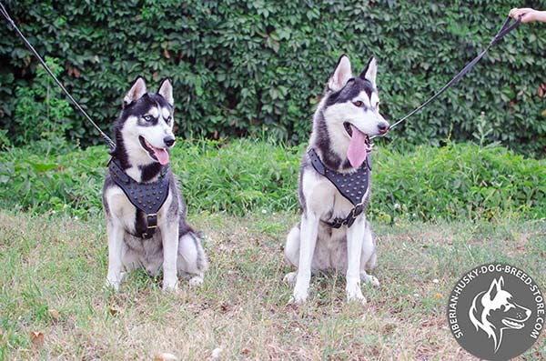 Siberian Husky leather harness with reliable fittings for professional use