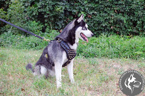Siberian Husky black leather harness with non-corrosive spikes for basic training