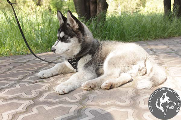 Siberian Husky black leather harness with corrosion resistant spikes for walking