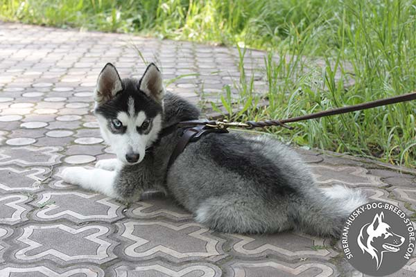 Siberian Husky brown leather harness with strong brass plated fittings for better comfort