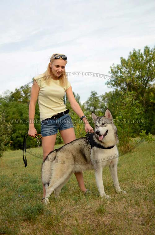 Siberian Husky nylon dog harness for pulling work