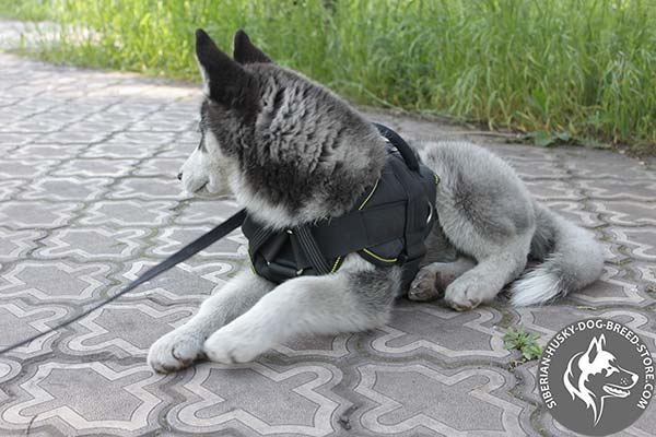 Siberian Husky nylon harness of high quality with d-ring for leash attachment for quality control