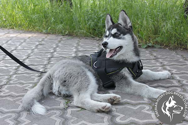 Siberian Husky nylon harness with reliable hardware for walking
