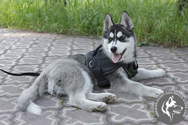 Siberian Husky nylon harness with durable fittings for daily activity