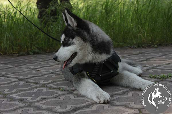 Siberian Husky nylon harness with non-corrosive hardware for perfect control
