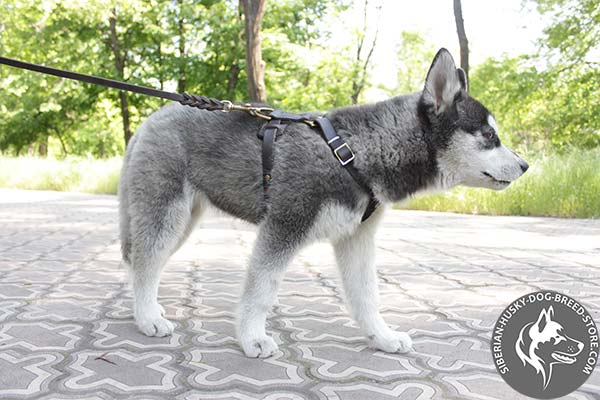 Siberian Husky leather leash of genuine materials with nickel plated hardware for professional use
