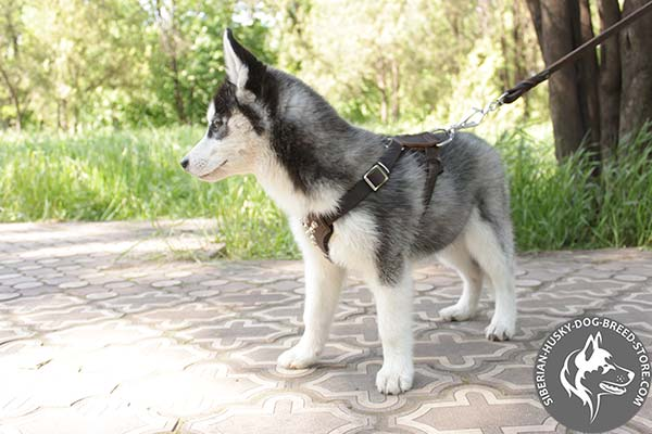 Siberian Husky leather leash with corrosion resistant nickel plated hardware for basic training