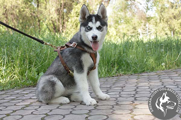Siberian Husky leather leash with durable brass plated hardware for improved control