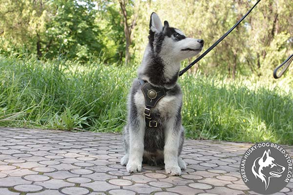 Siberian Husky leather leash of lightweight material with brass plated hardware for perfect control