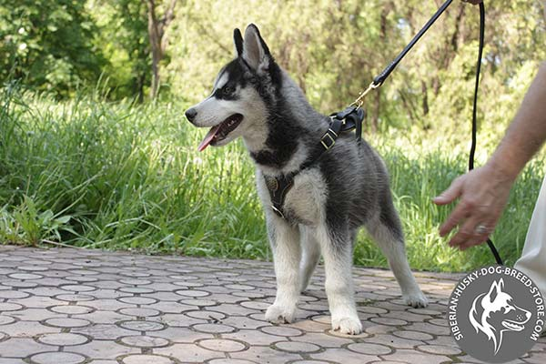 Siberian Husky leather leash with rust-resistant hardware for basic training