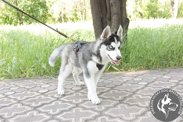 Siberian Husky leather leash of lightweight material with brass plated hardware for basic training