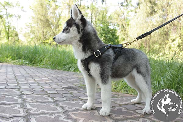 Siberian Husky leather leash with non-corrosive hardware for basic training