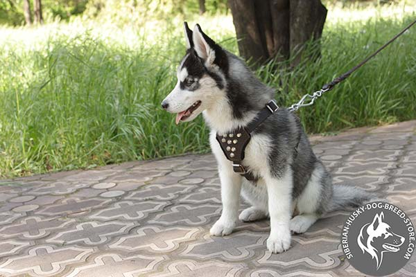 Siberian Husky leather leash with rust-proof nickel plated hardware for improved control