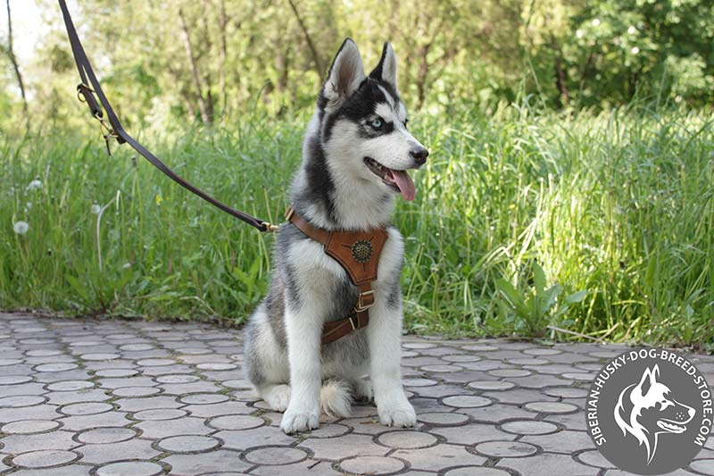 Image result for husky Leash Training