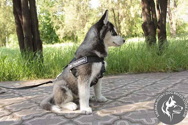 Siberian Husky nylon leash with strong hardware for daily activity