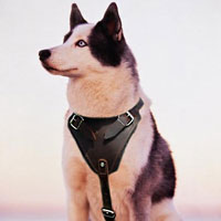 Leather dog muzzle for Siberian Husky